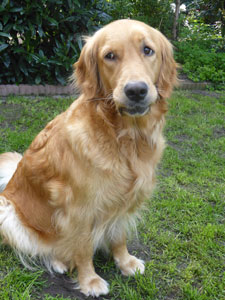Golden-Retriever-Bremen